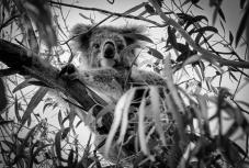 MM2-17 Koala - July Theme K