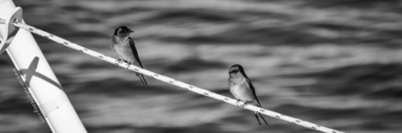MM3-15-Welcome-Swallows
