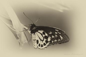 mm3-24-cairns-birdwing-butterfly