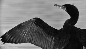 MM42 Great Cormorant
