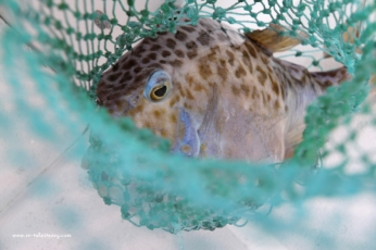 Smooth Boxfish