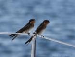 Swallows Perching