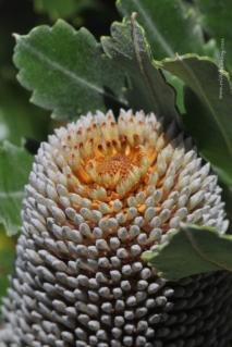 Banksia Serrata Bud
