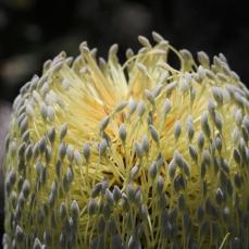 Banksia Serrata - Close up