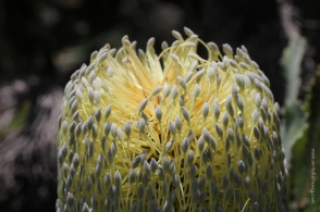 Banksia Serrata - Close up