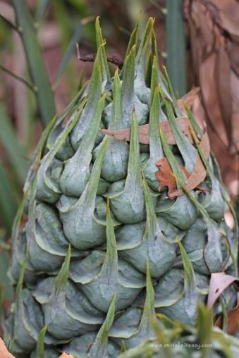 Cycad Cone