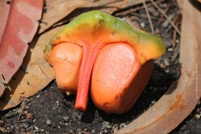 Cycad Seed