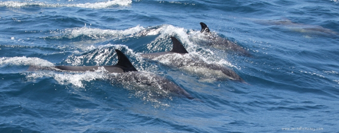 Dolphins at our bow