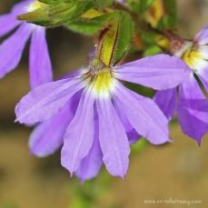 Fairy Fan Flower close up