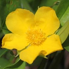 Guinea Flower Blossom (Hibbertia Linearis)