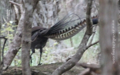 Lyrebird - Male
