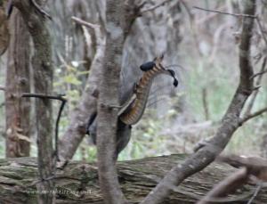 Stalking lyrebirds