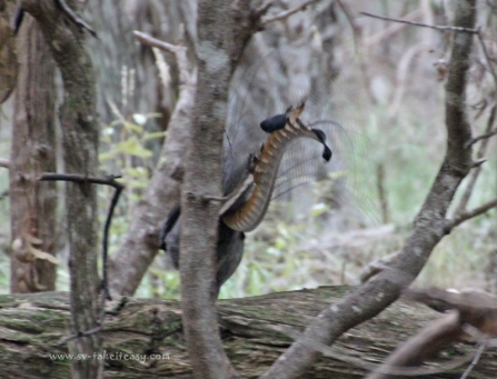 Stalking lyrebirds