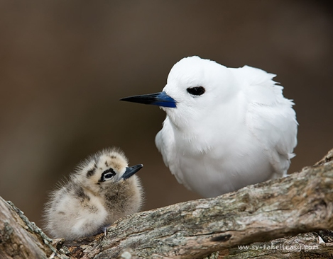 Mum Tern and chick