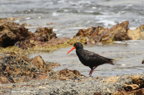 Sooty Oystercatcher at Chain Bay