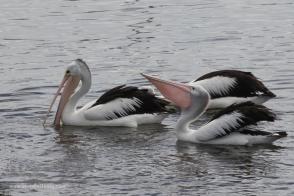 Pelicans feeding at Bermagui