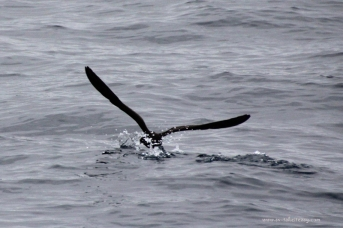 Short Tailed Shearwater