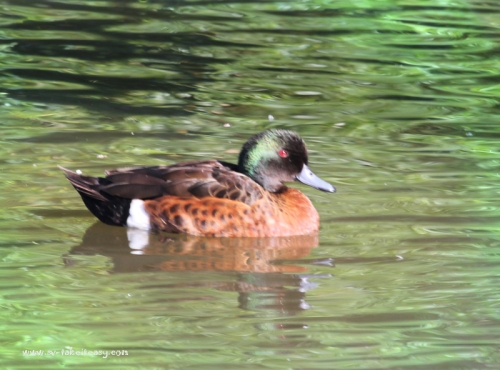 Chestnut Teal - Water Gradient