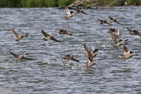 Pink-Eared Ducks in flight
