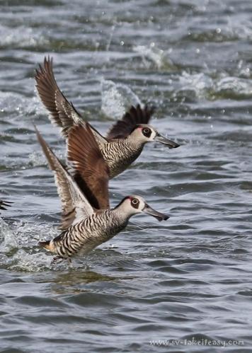 Pink-Eared Ducks Pair
