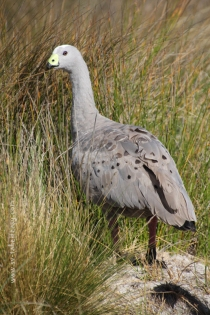 A surprise: the Cape Barren Goose