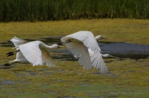 Yellow-Billed-Spoonbill-7