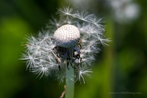 Spent dandelion