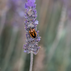 French Lavender with Agonoscelis