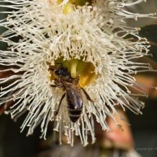 Eucalyptus Corymbia