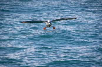 Shy albatross landing