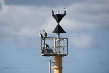 Pied Cormorants on the Cardinal Marker