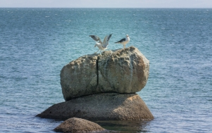 """Lipstick"" (Pacific) gulls,"