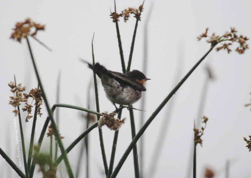 Swallow in the reeds2