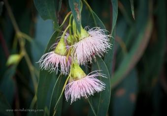 Eucalyptus Leucaxylon