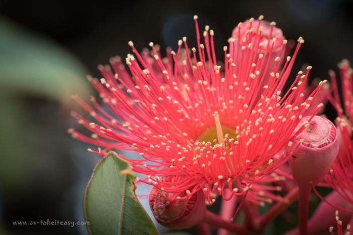 Eucalyptus Corymiba Ficifolia