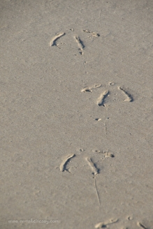 Pacific gull footsteps