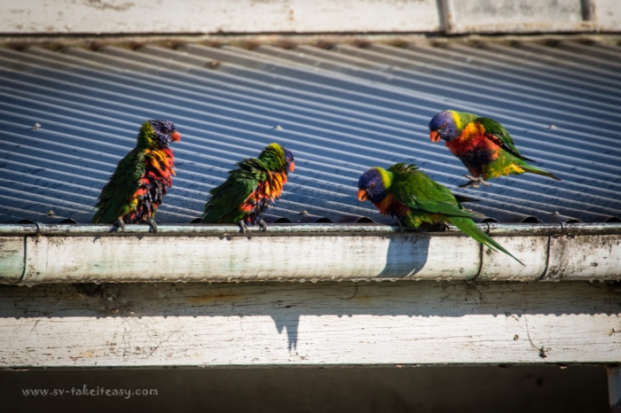 Rainbow Lorikeets at Rotamah Island