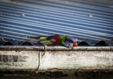 Rainbow Lorikeet at Rotamah Island