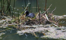 Eurasian Coot on the nest