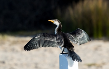 Drying its wings at Sperm Whale Jetty, Gippsland Lakes