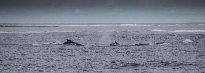 Pod of humpback whales