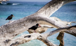 Sooty oyster catchers at Lady Musgrave Island