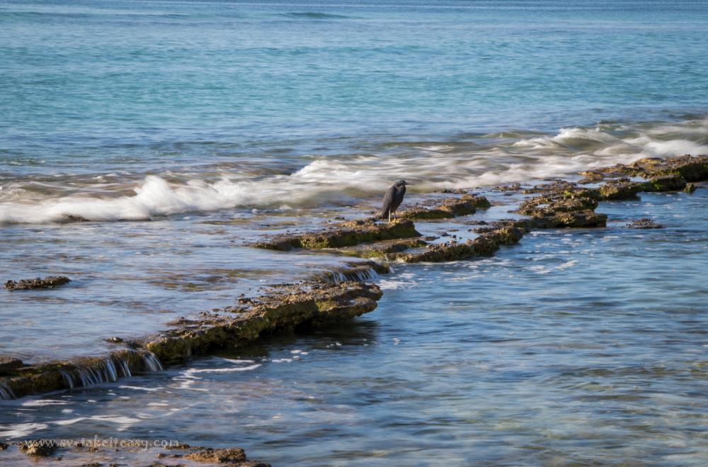 Dark phase reef egret