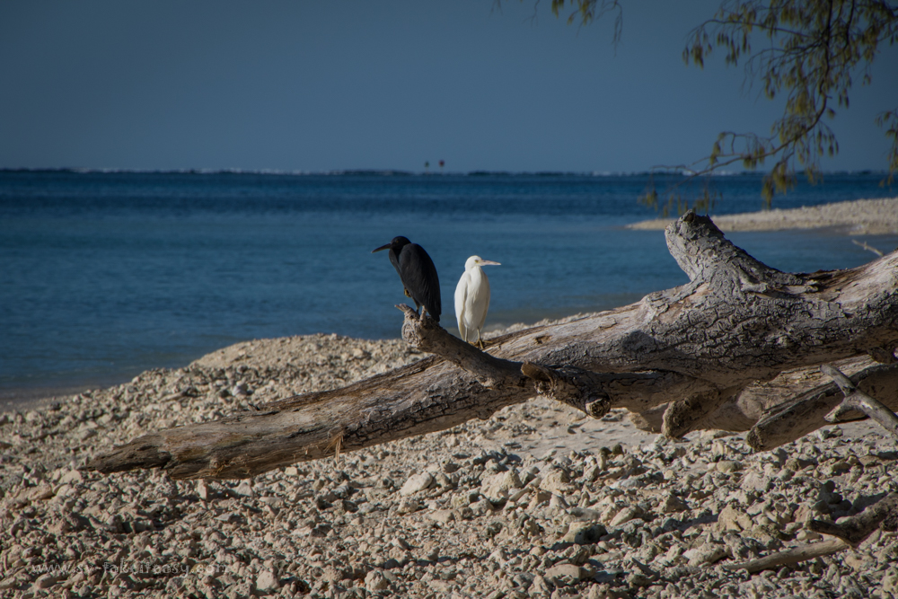 Pair of reef egrets