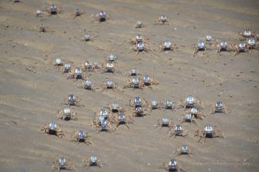 soldier crabs