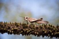 Grasshopper on a grass tree flower stem