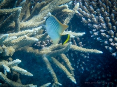 Butterfly fish at Lady Musgrave