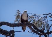 Brahminy Kite keeping an eye on us