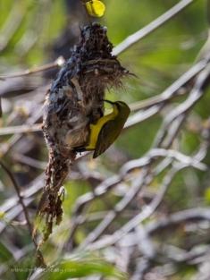 Yellow-bellied sunbird on nest
