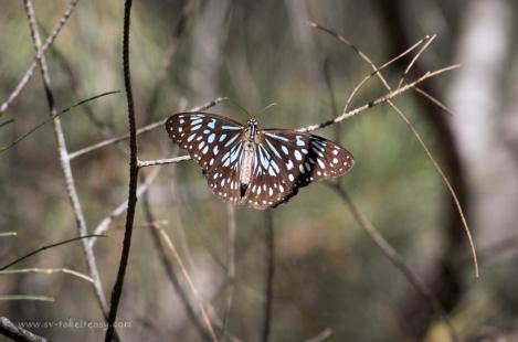 Blue tigger butterfly